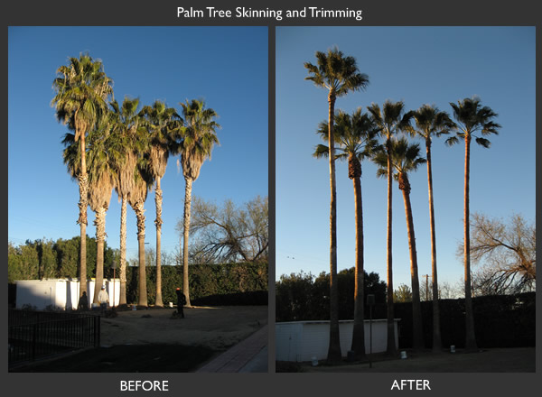 Romeo Tree Service Palm Tree Trimming Before and After Photo