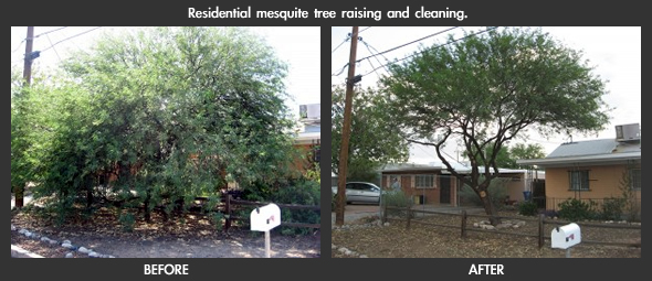 Residential Mesquite Tree. Cleaning and Raising.