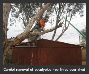 Large Eucalyptus Limbs Removed from Above Shed