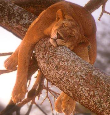 Tucson Pet Rescue. Funny image of mountain lion sleeping in a tree.