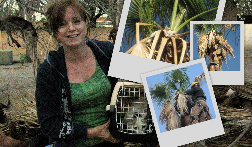 Romeo Tree Service worker rescues cat from a Mexican fan palm.