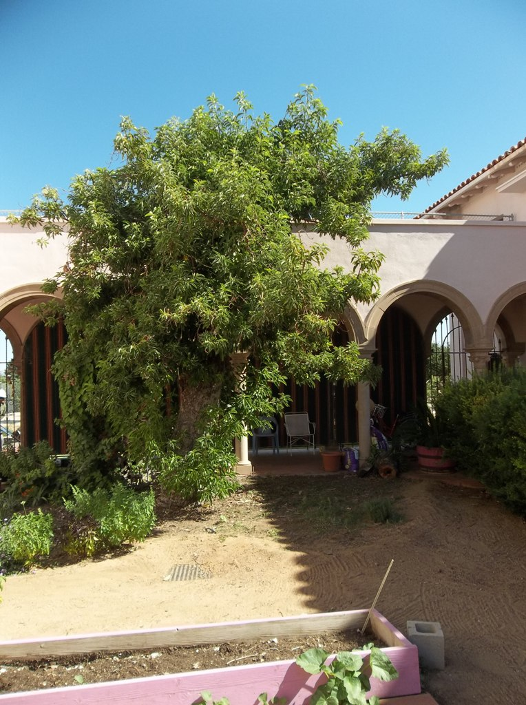 Largest Avacado Tree  In Tucson<br /> at Benedictine Monastery
